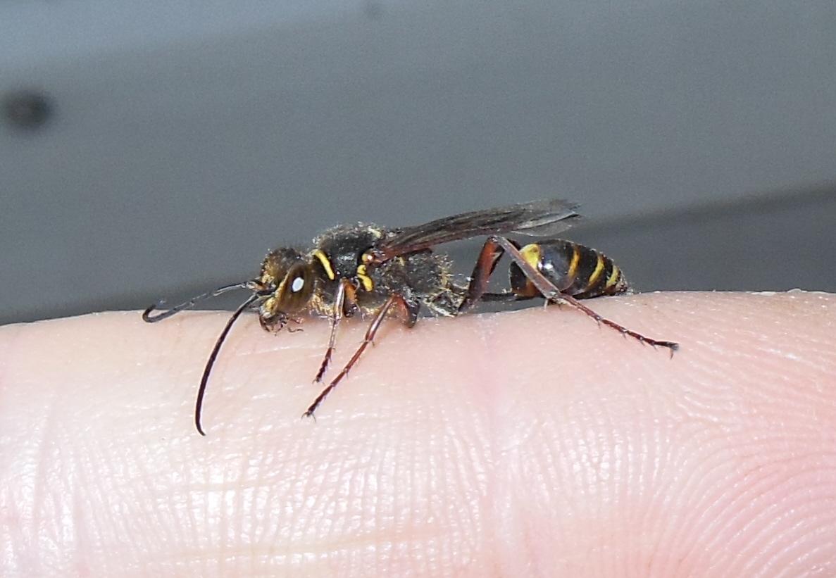 Gut gemocht die orientalische mauerwespe - sceliphron curvatum FO03